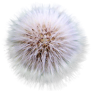 dandylion png icon