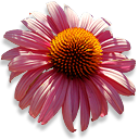 echinacea Png Icon