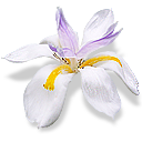 siberianiris png icon