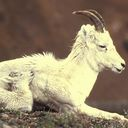 goat png icon